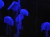meduses3
